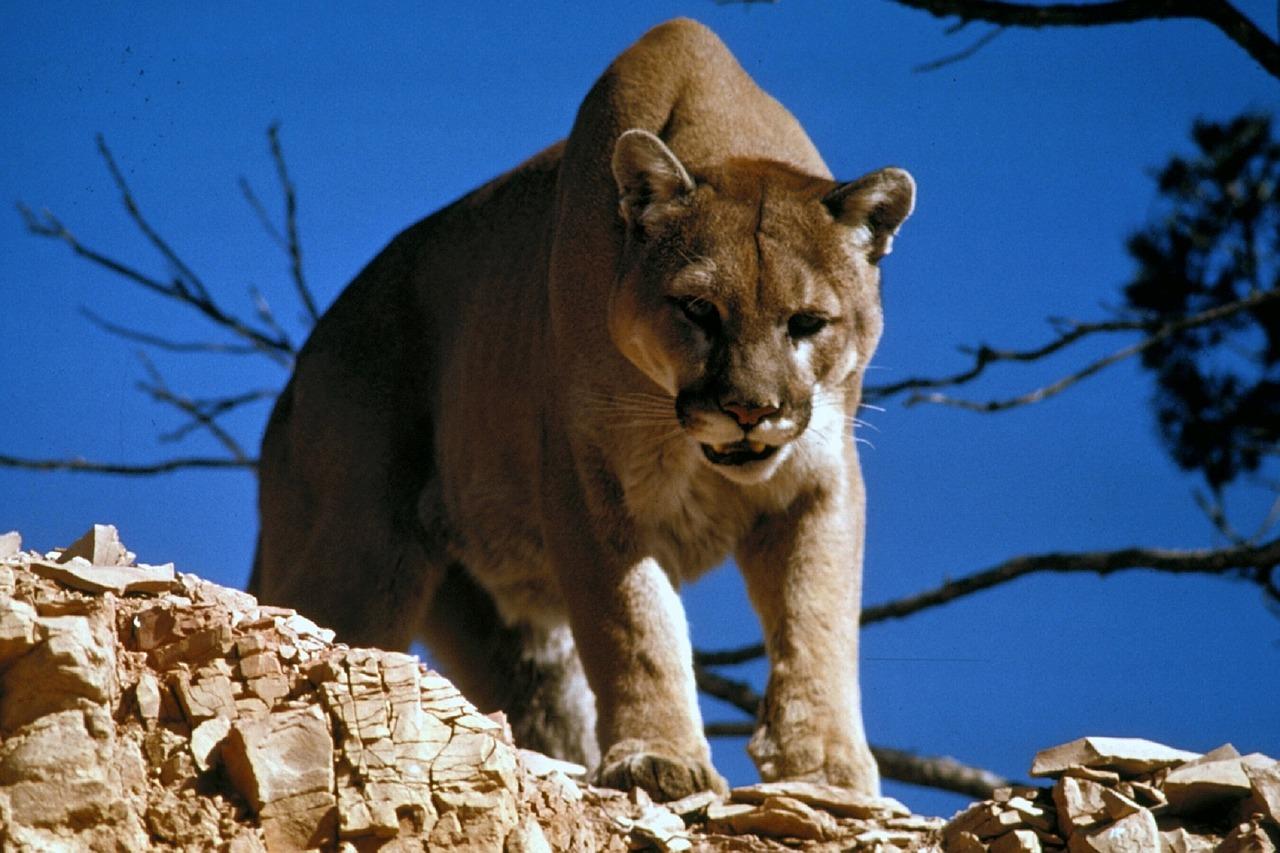 cougar-718092_1280
